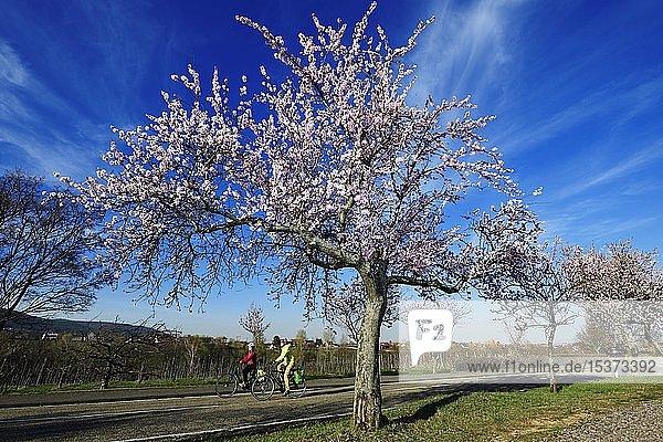 Radfahrer fahren durch eine Alle blühender Mandelbäume  Edenkoben  Pfälzer Mandelpfad  Deutsche Weinstraße  Rheinland-Pfalz  Deutschland  Europa