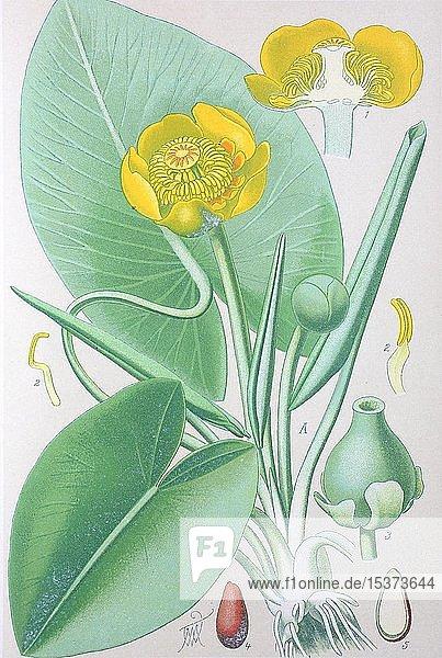 Gelbe Teichrose (Nuphar lutea)  historische Illustration von 1885  Deutschland  Europa