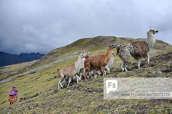 Indio drives Llama (Lama glama) loaded with bags  Andes  near Cusco  Peru  South America