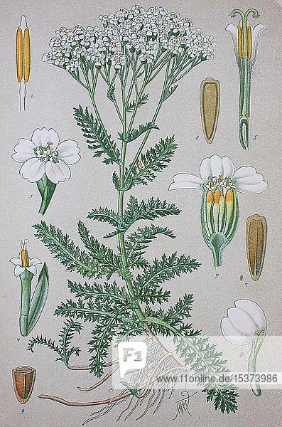 Gemeine Schafgarbe (Achillea millefolium)  historische Illustration von 1885  Deutschland  Europa