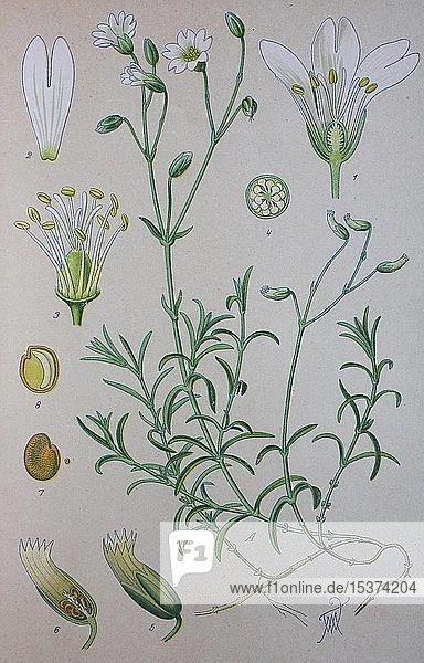 Acker-Hornkraut (Cerastium arvense)  historische Illustration von 1885  Deutschland  Europa