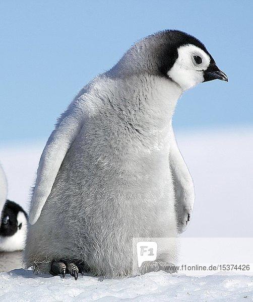 Kaiserpinguine (Aptenodytes forsteri)  Pinguinkolonie im Eis  neugieriges Jungtier  Antarktis  Antarktika