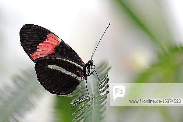 Doris-Falter (Heliconius doris)  Schmetterlingshaus  Insel Mainau  Baden-Württemberg  Deutschland  Europa