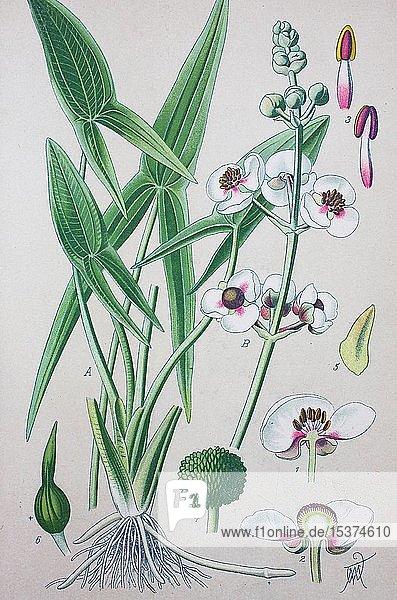 Gewöhnliches Pfeilkraut (Sagittaria sagittifolia)  historische Illustration von 1885  Deutschland  Europa