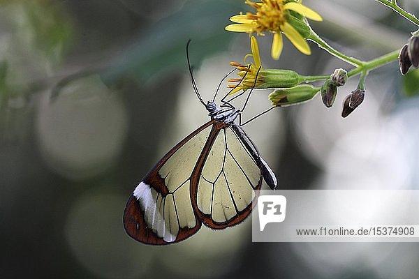 Glasflügler (Greta oto)  Schmetterlingshaus  Mainau  Baden-Württemberg  Deutschland  Europa