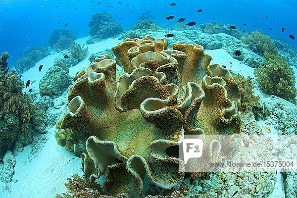 Troglederkoralle (Sarcophyton trocheliophorum)  Cebu  Visayas  Philippinen  Asien