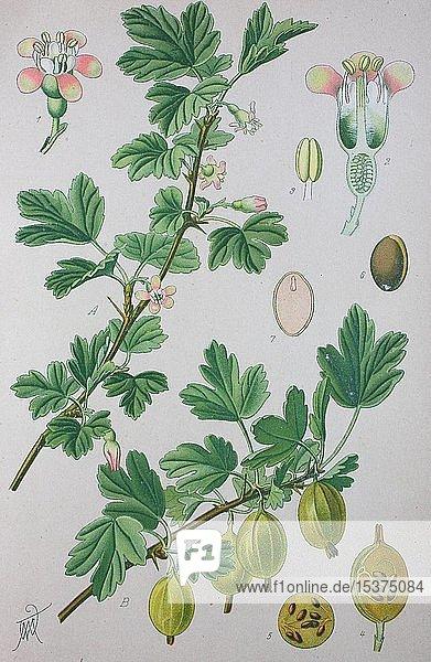 Stachelbeere (Ribes uva-crispa)  historische Illustration von 1885  Deutschland  Europa