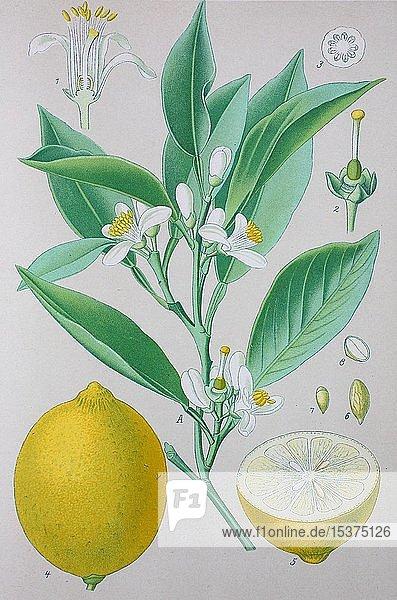 Zitrone (Citrus × limon)  Zitrusfrüchte  historische Illustration von 1885  Deutschland  Europa