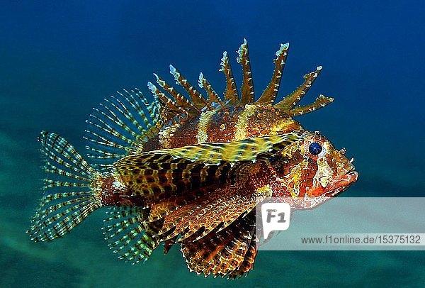 Kurzflossen-Zwergfeuerfisch (Dendrochirus brachypterus)  Negros  Philippinen  Asien