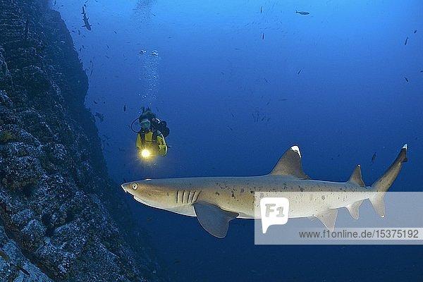 Taucher und Weißspitzen-Riffhai (Triaenodon obesus)  an einem Steilriff  San Benedicto Island  Revillagigedo-Inseln  Mexiko  Mittelamerika