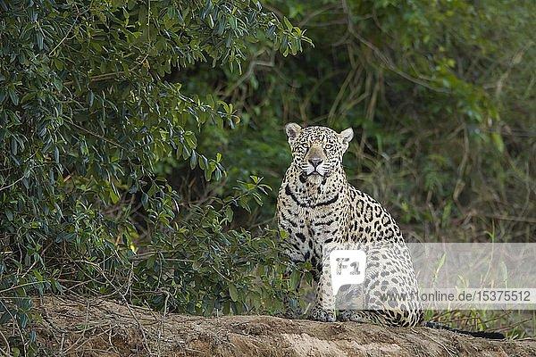 Jaguar (Panthera onca)  adult  wachsam am Flussufer  Pantanal  Mato Grosso  Brasilien  Südamerika