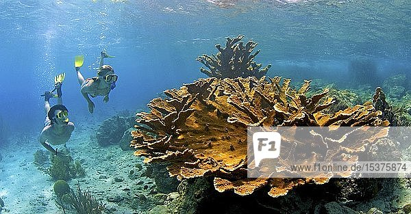 Schnorchler im Korallenriff mit Elchgeweihkorallen (Acropora palmata)  Curacao  Südamerika