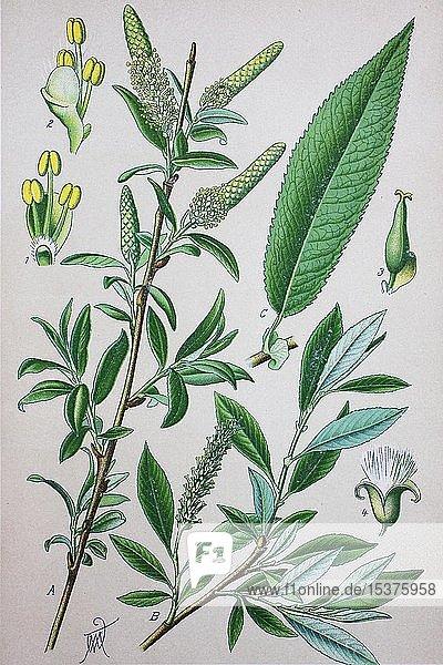 Weide (Salix amygdaloides)  historische Illustration von 1885  Deutschland  Europa