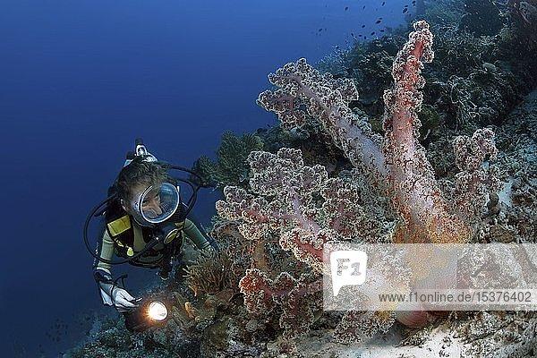 Taucher an einer Bäumchen-Weichkoralle (Nephtheidae)  Pescador Island  Moalboal  Cebu  Visayas  Philippinen  Asien
