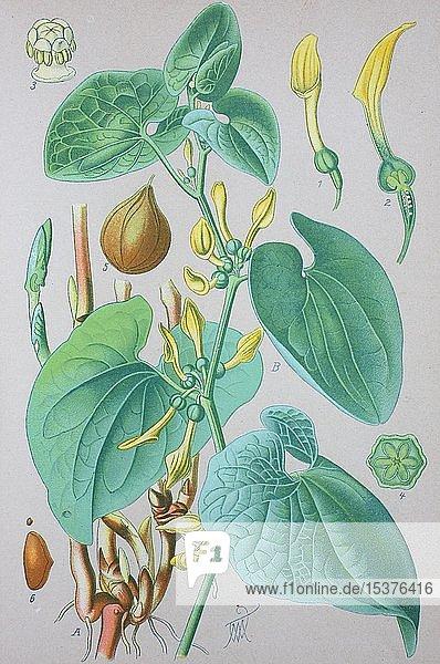 Gewöhnliche Osterluzei (Aristolochia clematitis)  historische Illustration von 1885  Deutschland  Europa
