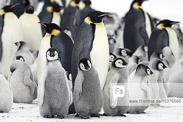Kaiserpinguine (Aptenodytes forsteri)  Pinguinkolonie  Alttiere mit Jungtieren dicht gedrängt am Nistplatz  Antarktis  Antarktika