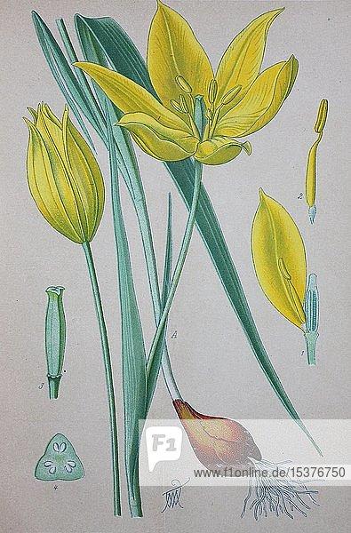 Wildtulpe (Tulipa sylvestris)  historische Illustration von 1885  Deutschland  Europa