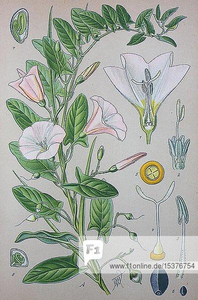 Ackerwinde (Convolvulus arvensis)  historische Illustration von 1885  Deutschland  Europa