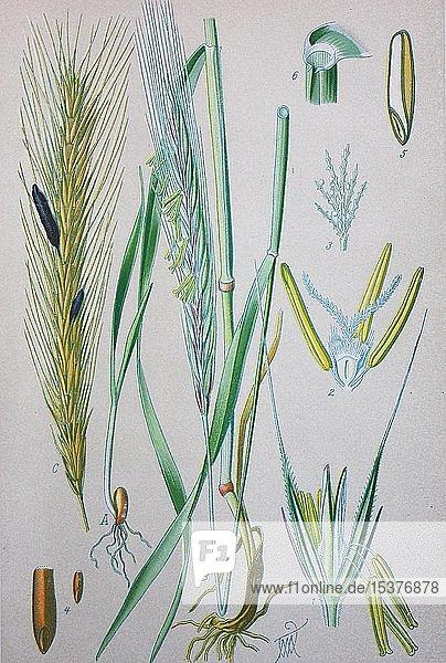 Roggen (Secale cereale)  historische Illustration von 1885  Deutschland  Europa