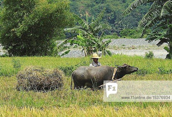 Reisbauer mit Wasserbüffel (Bubalus arnee) arbeitet auf dem Reisfeld  Banaue  Luzon  Philippinen  Asien