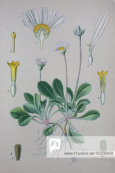 Gänseblümchen (Bellis perennis)  historische Illustration von 1885  Deutschland  Europa