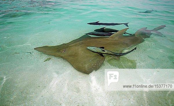 Großer Geigenrochen (Rhynchobatus djiddensis) mit Gestreiften Schiffshaltern (Echeneis naucrates)  in der Lagune im flachen Wasser  Baa Atoll  Malediven  Asien