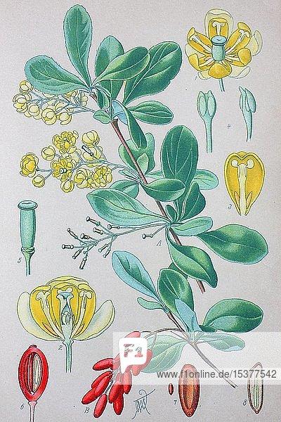 Gewöhnliche Berberitze (Berberis vulgaris)  historische Illustration von 1885  Deutschland  Europa