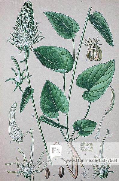 Ährige Teufelskralle (Phyteuma spicatum)  historische Illustration von 1885  Deutschland  Europa