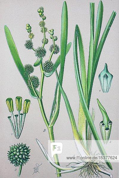Ästiger Igelkolben (Sparganium erectum)  historische Illustration von 1885  Deutschland  Europa