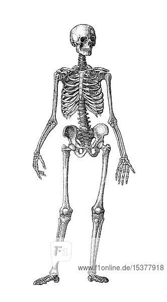 Menschliches Skelett  von hinten gesehen  1889  historischer Holzschnitt  Frankreich  Europa