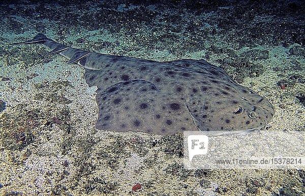 Ornaten-Engelhai (Squatina tergocellata) ruht auf dem Meeresgrund  Similan Islands  Marine National Park  Andamansee  Thailand  Asien