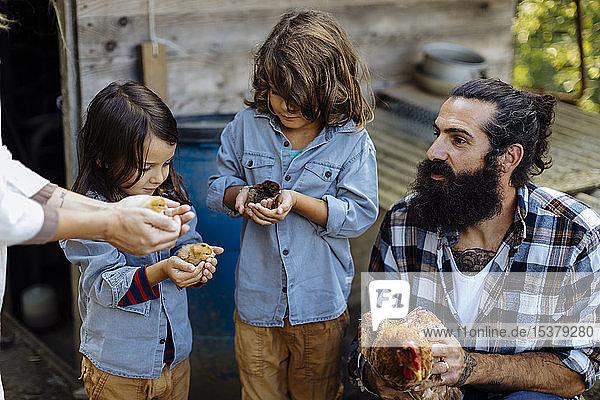 Vater mit zwei Kindern  die auf einem Biohof Hühner und Küken halten Vater mit zwei Kindern, die auf einem Biohof Hühner und Küken halten