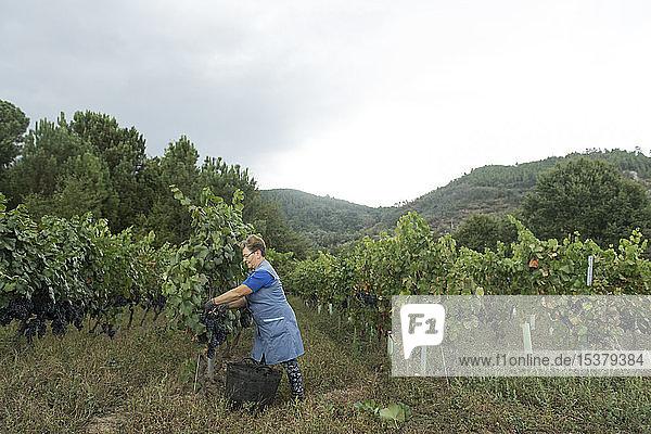 Frau bei der Weinlese in einem Weinberg