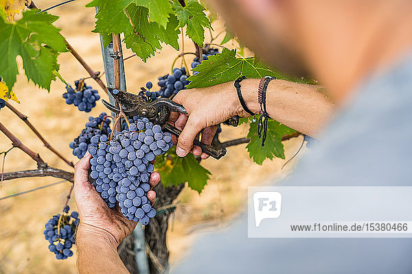 Close-up of man harvesting red grapes in vineyard