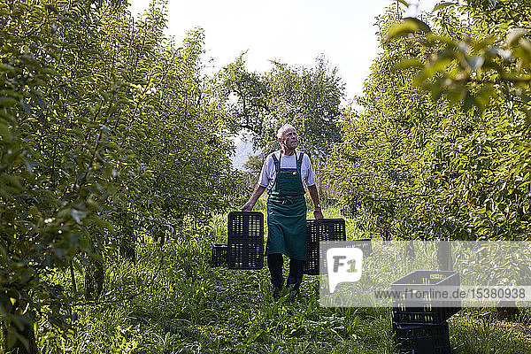 Organic farmer harvesting williams pears  carrying boxes