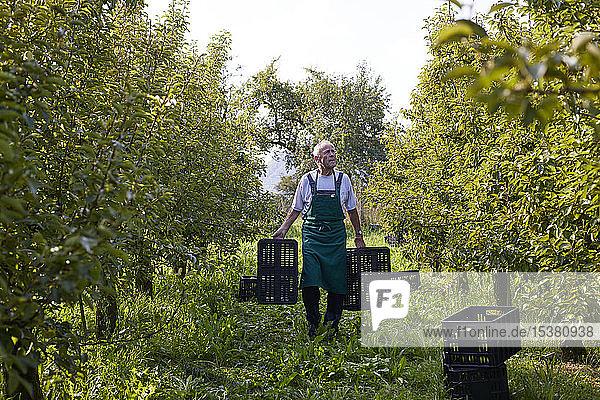 Biobauer bei der Ernte von Williamsbirnen  Tragekisten