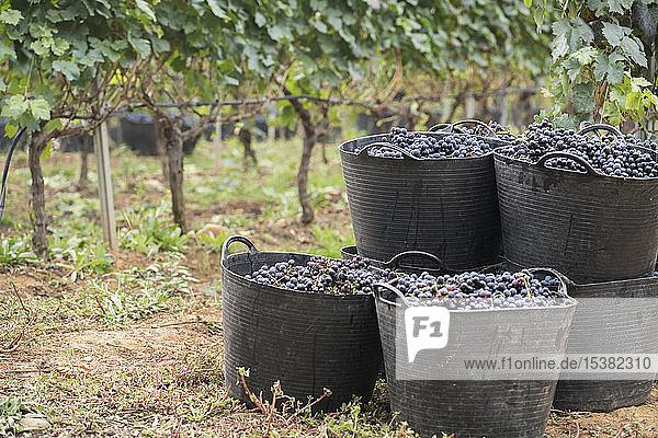 Harvested grapes in harvest baskets Harvested grapes in harvest baskets