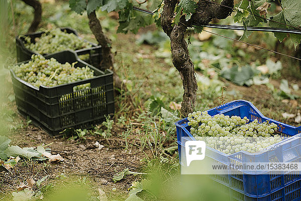 Boxes with harvested green grapes at a vineyard Boxes with harvested green grapes at a vineyard