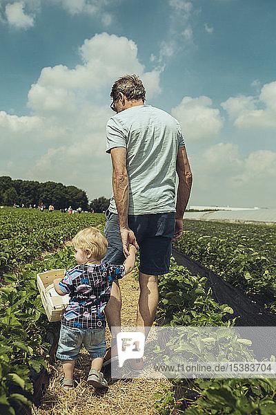 Vater und Sohn pflücken Erdbeeren in einer Erdbeerplantage