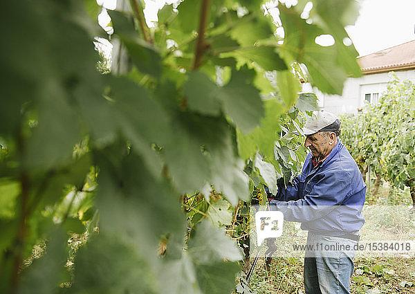 Mensch erntet Trauben im Weinberg