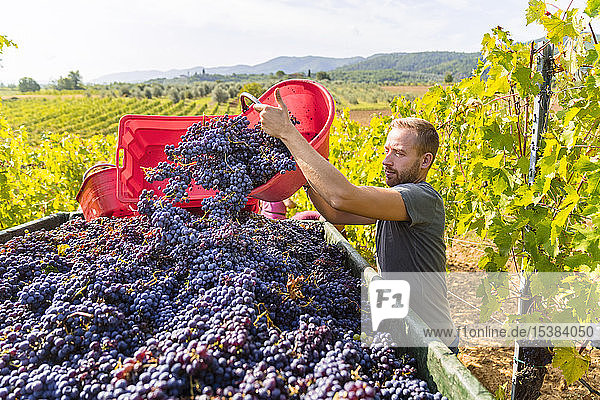 Man pouring red grapes on trailer in vineyard Man pouring red grapes on trailer in vineyard