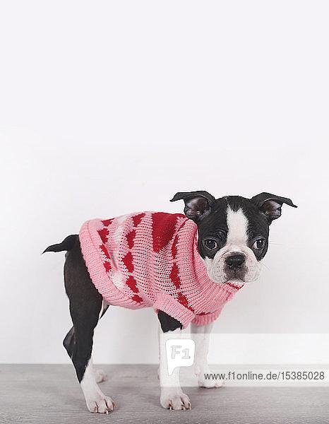 Porträt eines Boston-Terrier-Welpen in rosa Pullover mit Herzen