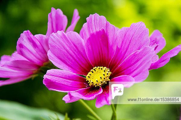 Rosa kosmetische Blumen  Nahaufnahme