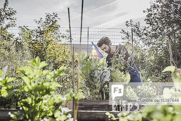 Mann gärtnert im Stadtgarten