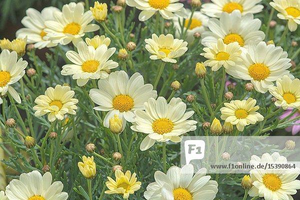 White daisy flowers closeup. Spring garden series  Mallorca  Spain.