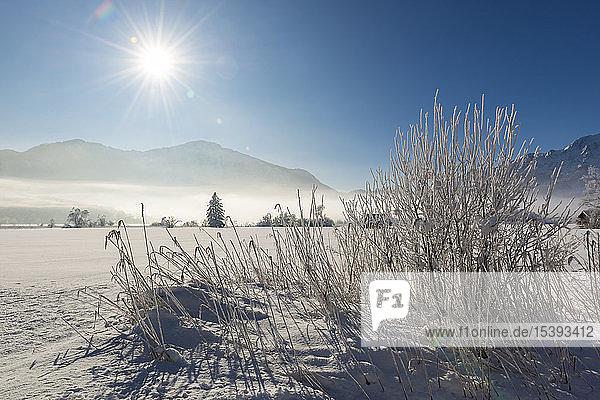 Deutschland  Oberbayern  Werdenfelser Land  Kochel  Winterlandschaft  Schilfgras gegen die Sonne