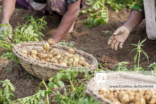 Roots full potatoes are showing a worker at Thakurgong  Bangladesh.