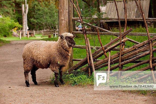 Sheep in Rocca al Mare open air museum in Tallinn