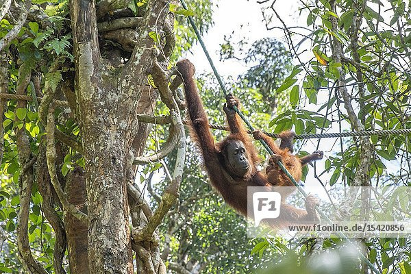 A Mother and Baby Orangutan ( Pongo pygmaeus ) Hanging on a Rope in Semengoh Rehabilitation Center  Kuching  Sarawak  Borneo  Malaysia.