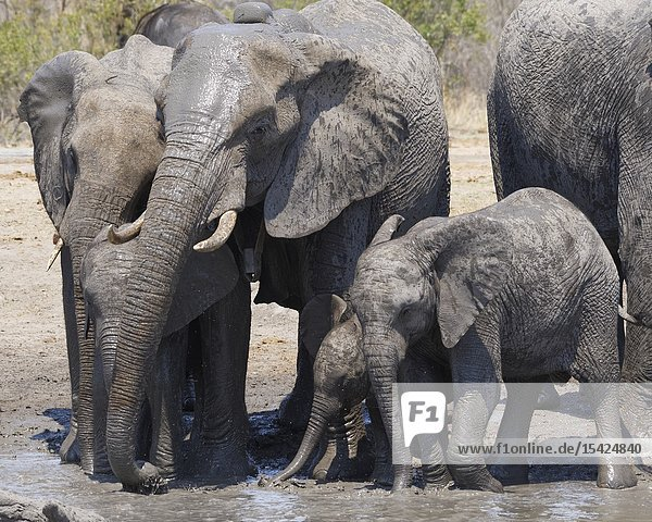 African bush elephants (Loxodonta africana)  herd with calves and baby at a muddy waterhole  Kruger National Park  South Africa  Africa.